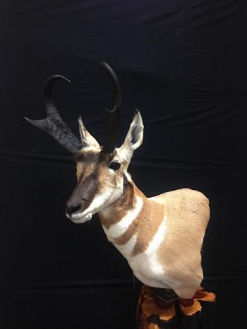 Antelope make one great mount!